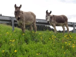 Ist Pilgern eine Eselei? Trotz der Gefährten am Wegesrand bei Wilhams finde ich: absolut nicht!